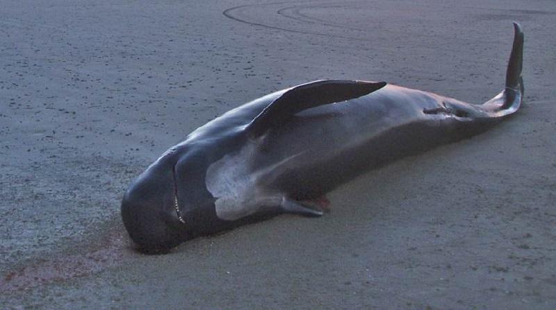 Baleia encontrada morta na Tailândia tinha 80 sacolas plásticas no estômago