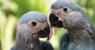 Brasil trará 50 ararinhas-azuis da Europa para projeto de reintrodução da espécie na Caatinga
