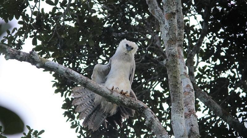 Descobertos em reserva de proteção da Bahia ninhos de harpia, ave rara em risco de extinção