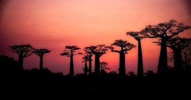 Maiores e mais antigos baobás da África morrem e cientistas culpam o aquecimento global