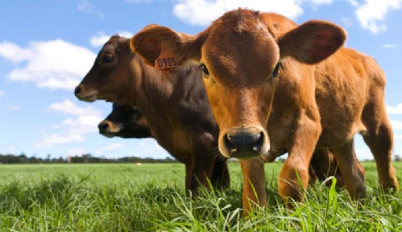 rebanho bovino campeão de emissões de gases de efeito estufa