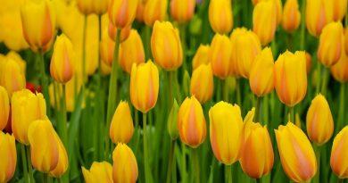 As tulipas holandesas que, na verdade, são... turcas!