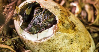 Expedição na Amazônia é oportunidade única de ver como funciona uma pesquisa científica real com jacarés selvagens