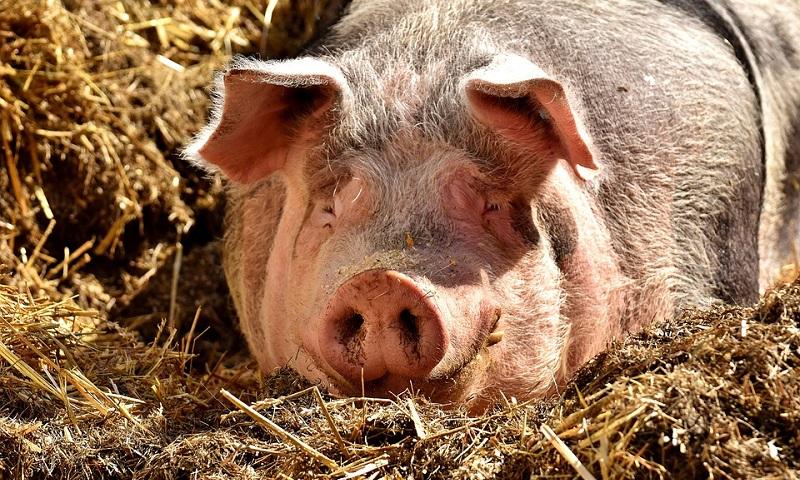 Flagrados animais sendo alimentados com produtos que aumentam risco de ocorrência da vaca louca no interior de SP