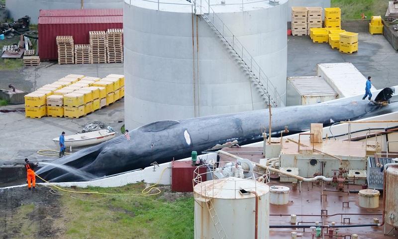 Pescadores islandeses são flagrados com baleia azul morta, espécie em extinção com caça proibida
