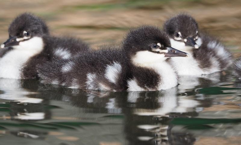 Ave rara e ameaçada de extinção, pato-mergulhão se reproduz naturalmente pela primeira vez, no Brasil, e no mundo
