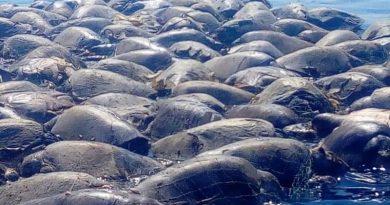 Centenas de tartarugas-marinhas morrem presas em rede de pesca ilegal no México