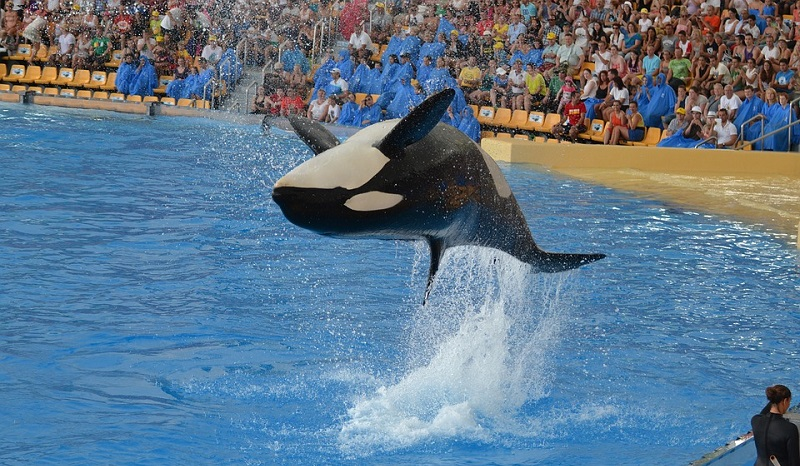 Gigante do turismo para de vender pacotes para parques com orca