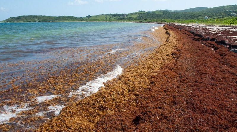 Praias do Caribe e Golfo do México estão infestadas com algas, afugentando banhistas e pescadores