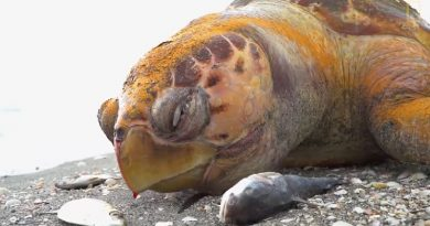 Infestação de algas tóxicas está matando vida marinha na Flórida