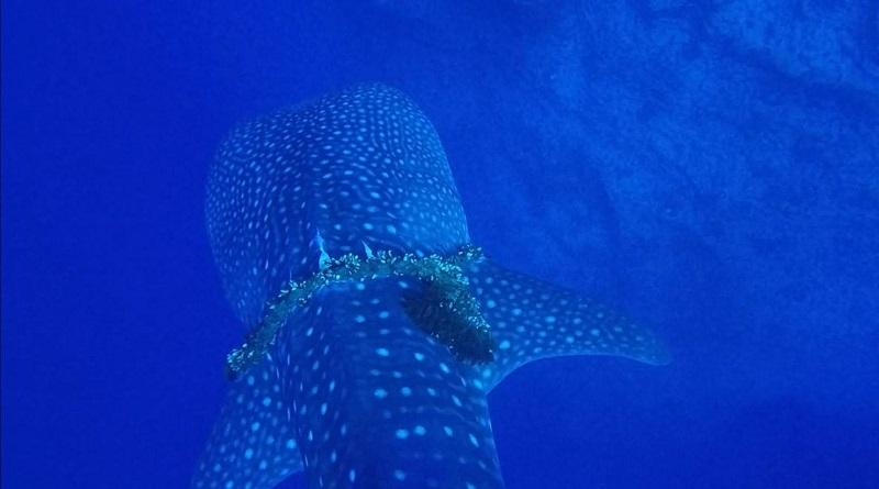 Tubarão-baleia com corda ao redor do corpo é salvo por mergulhadores no Havaí