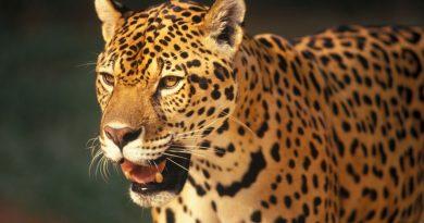 Reconhecer no projeto de lei que pretende regulamentar a caça de animais silvestres no Brasil qualquer traço histórico não é preservar a cultura, mas referendar o crime e validar a delinquência humana