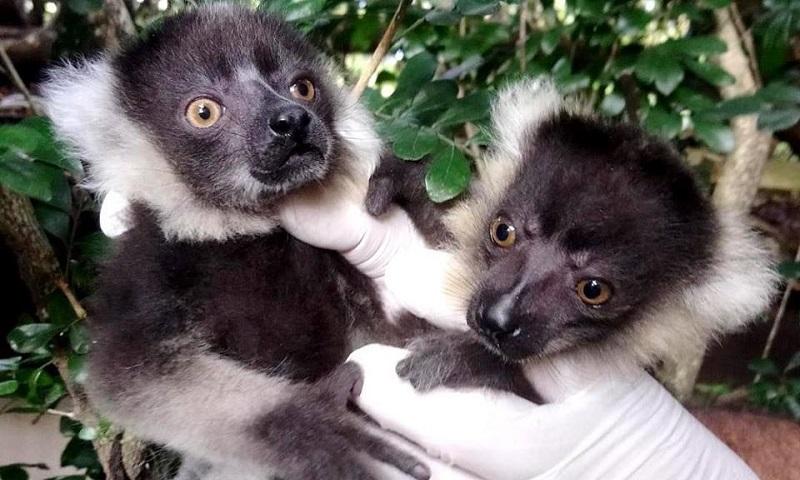 Nascem primeiros filhotes de lêmures em cativeiro no Brasil
