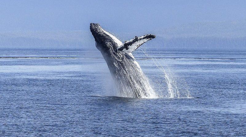 Países a favor da caça a baleias derrubam proposta de criação de um Santuário de Baleias no Atlântico Sul