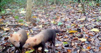 Armadilhas fotográficas revelam espécies de animais raros da Amazônia