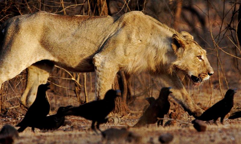 Em apenas três semanas, morrem 23 dos últimos 520 leões asiáticos do planeta