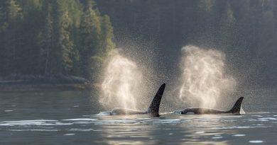 Poluição química nos oceanos pode matar 50% da população das baleias orcas