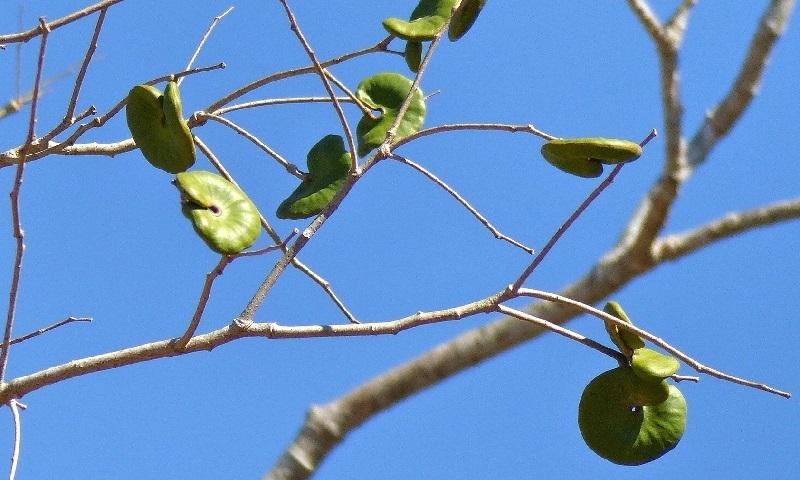 pesquisa revela que proteína de semente de árvore brasileira inibe progressão de câncer de mama