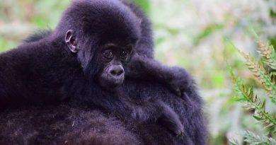 Boa notícia traz mais esperança para a sobrevivência dos gorilas das montanhas