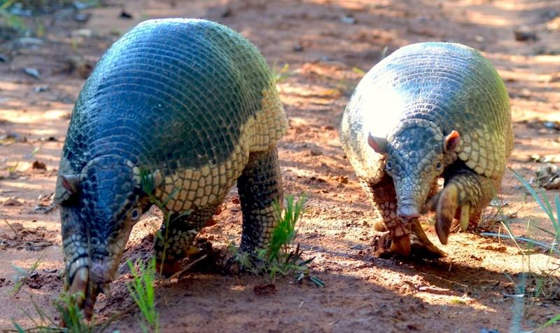 Tatus-canastra em rara aparição no Mato Grosso do Sul