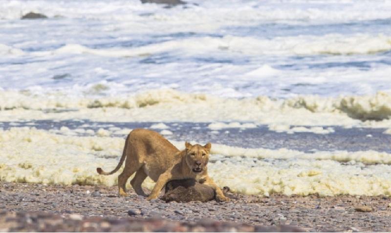 Leões se alimentam de focas e aves marinhas para sobreviver na costa da Namíbia