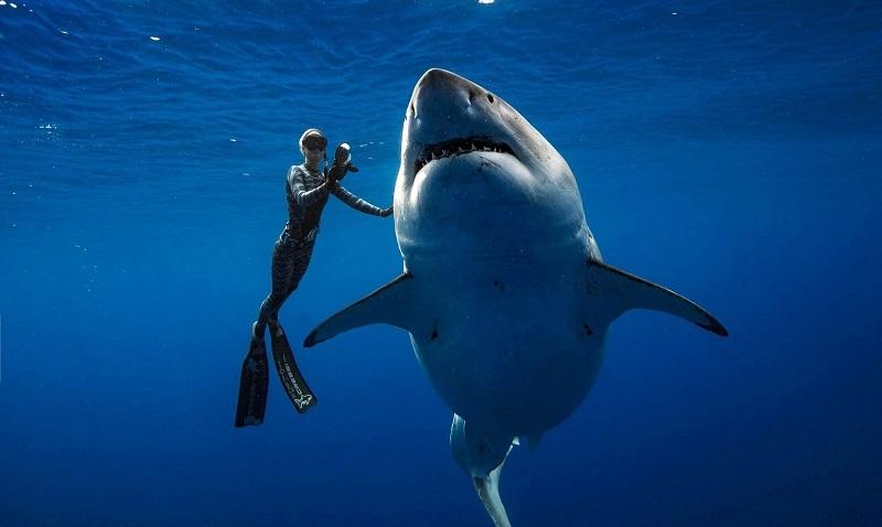 Majestoso tubarão-branco é filmado nadando ao lado de mergulhador no Havaí