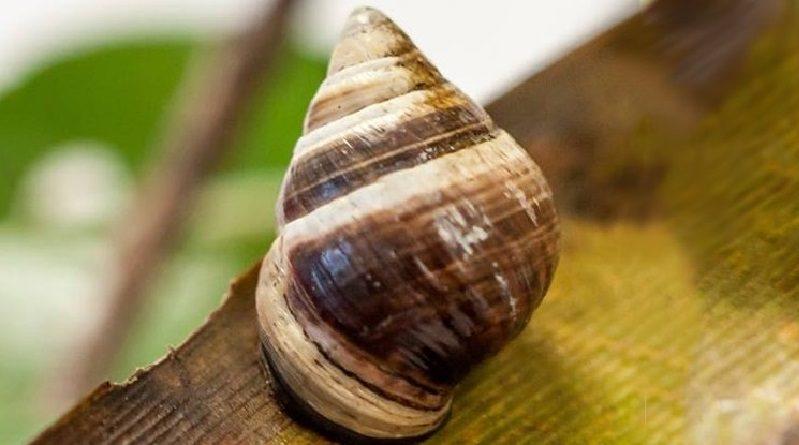 Morre Lonely George: apenas um caracol, mas o último de sua espécie