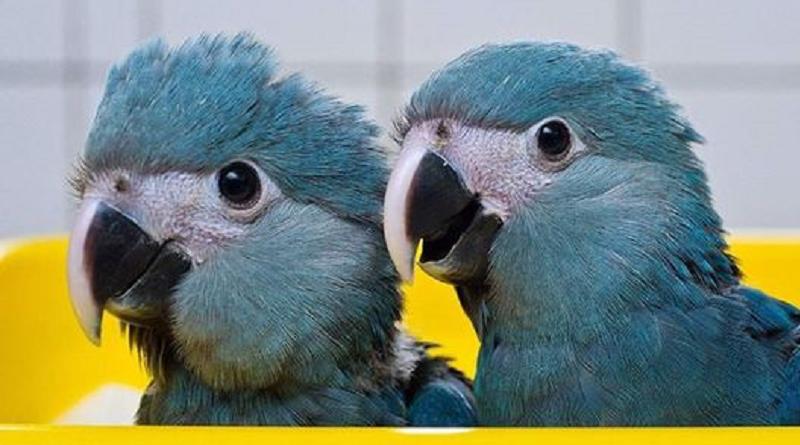 Petição internacional pede investigação ao governo alemão sobre criador de ararinhas-azuis