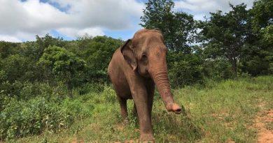 Rana: a nova moradora do Santuário dos Elefantes, na Chapada dos Guimarães