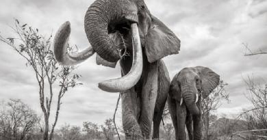 Fotógrafo faz últimos registros de elefante rara, uma das poucas de sua espécie, que ainda sobreviviam na África