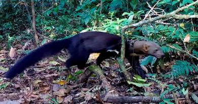 Irara em vídeo: novo flagrante da série Moradores da Floresta do WWF-Brasil