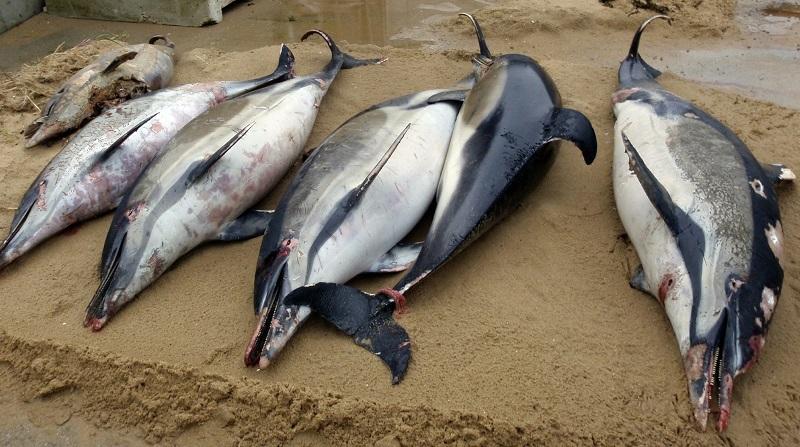 Milhares de golfinhos aparecem mortos na costa da França