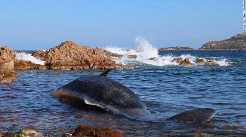 Baleia grávida com 22 kg de plástico no estômago é achada morta na Itália
