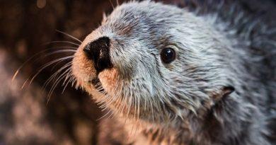 Aos 22 anos, Charlie, mais antiga lontra marinha do mundo morre, mas deixa história linda como legado