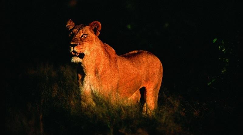 Depois de pisoteado e morto por elefante, caçador de rinoceronte é devorado por leões em parque na África