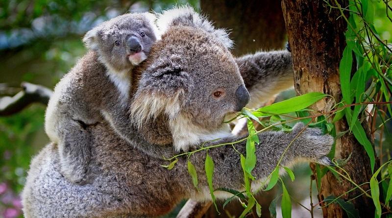 """Coalas são declarados """"extintos funcionalmente"""": são tão poucos, que não tem mais papel no ecossistema"""