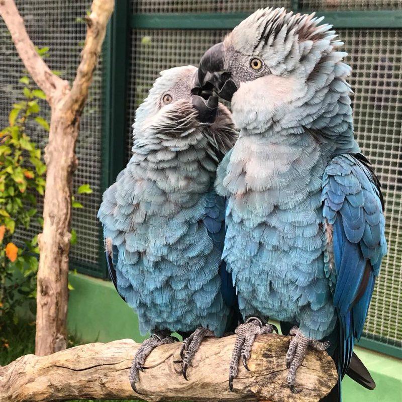 Extintas na natureza, ararinhas-azuis nascem em cativeiro, em Minas Gerais