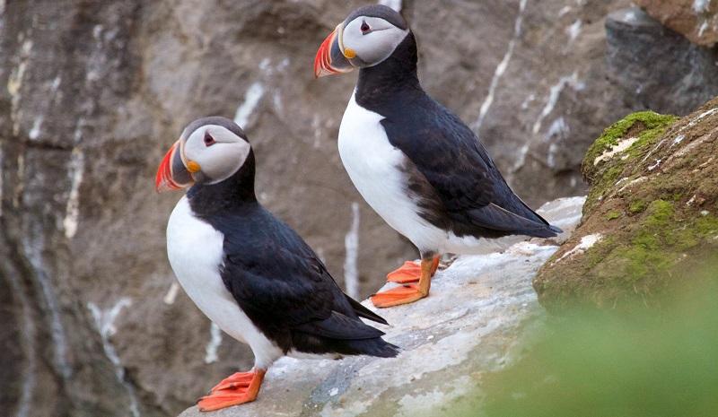 Mudanças climáticas são apontadas como a causa da morte de milhares de papagaios-do-mar no Alaska