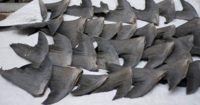 Canadá proíbe importação e exportação de barbatanas de tubarão