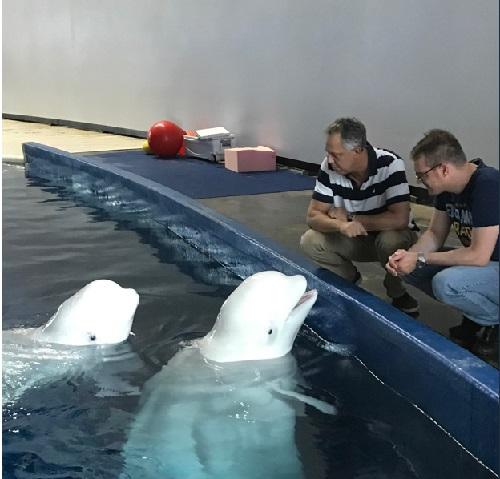 Depois de dez anos em aquário na China, baleias belugas são levadas para santuário na Islândia