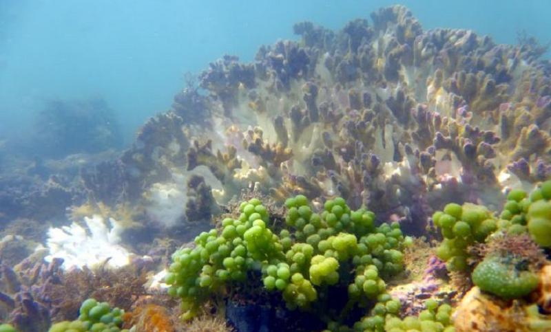 Alta temperatura da água do mar mata mais de 90% de corais-de-fogo no sul da Bahia