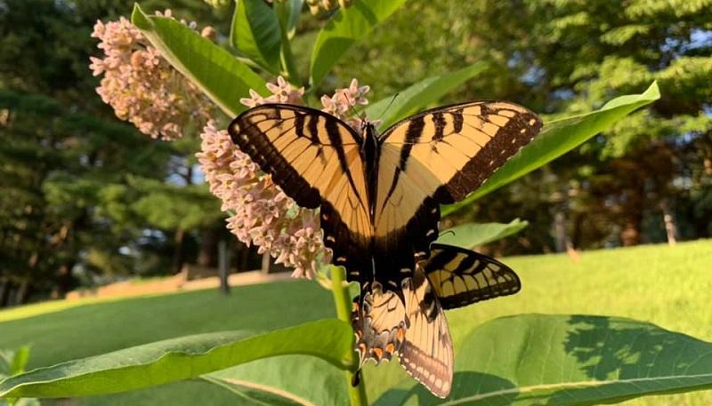 A visita das borboletas monarcas no meu jardim