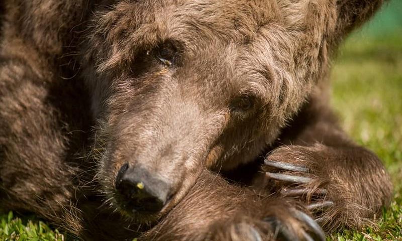 """Morre """"a ursa mais triste do mundo"""", que sofreu anos em circos e no ano passada foi levada para um santuário"""