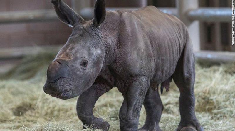 Nascimento de rinoceronte branco em zoo de San Diego é esperança para salvar espécie da extinção