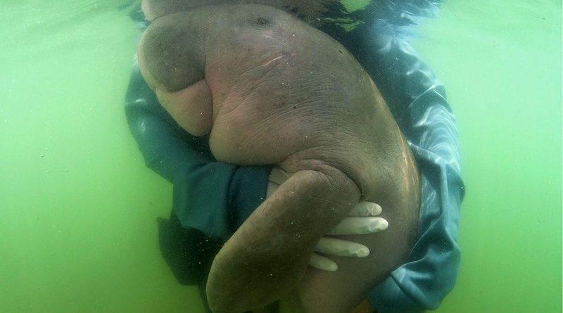 Filhote de dugongo, famosa na Tailândia, morre por causa da presença de plástico no intestino