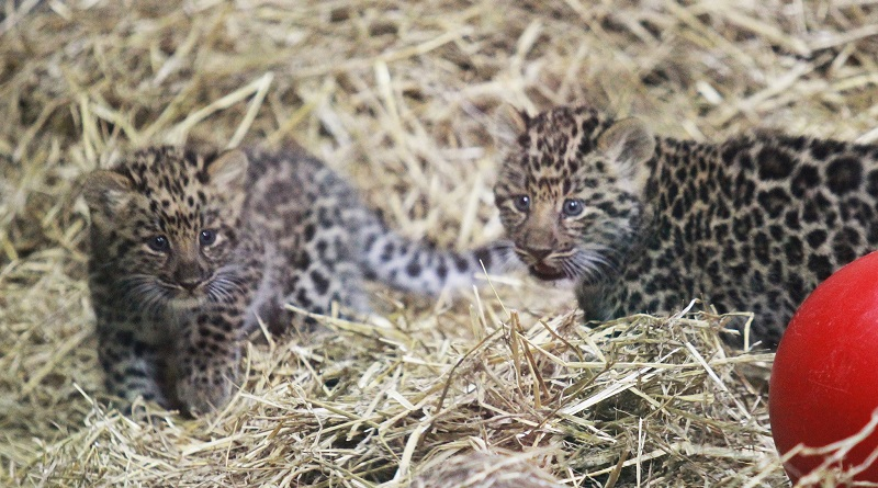 Nascem em cativeiro dois filhotes de leopardo Amur, subespécie praticamente dizimada na natureza