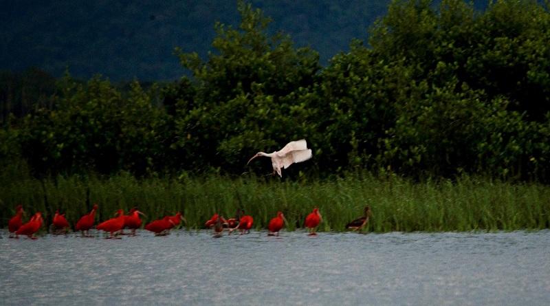 Pesquisadores encontram ave raríssima, nunca vista antes no litoral do Paraná: um guará branco