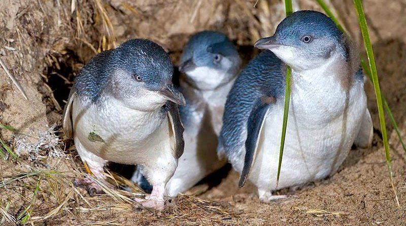 Para salvar pinguins-azuis da extinção, governo australiano desapropriou vilarejo e criou parque natural, que abriga maior colônia no mundo