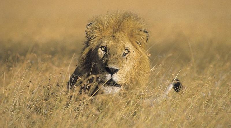 """Caçador recebe permissão para entrar nos Estados Unidos com """"troféu"""" de leão morto na Tanzânia"""