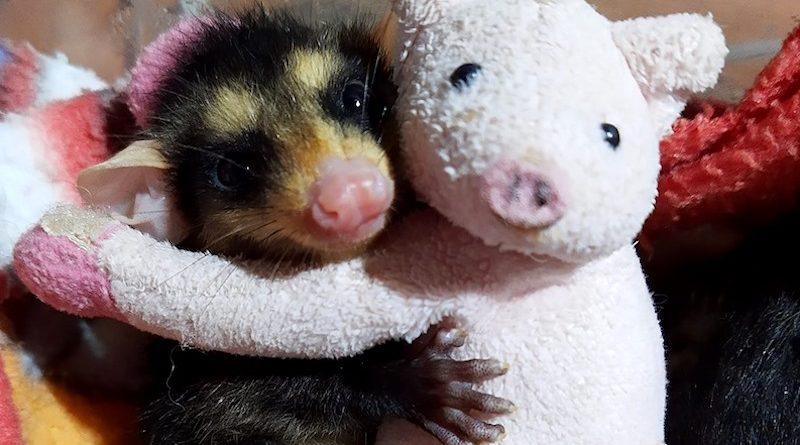 Filhotes órfãos de gambás, tamanduás, aves e outros animais silvestres precisam de ajuda
